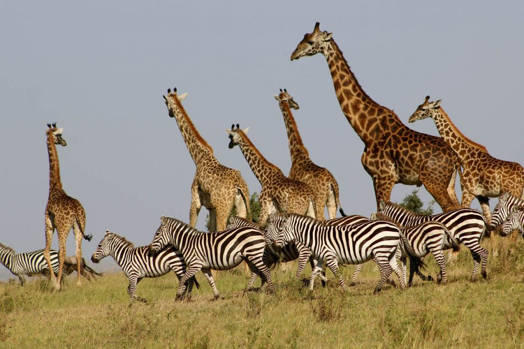 a totter of giraffes, a dazzle of zebras